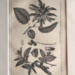 gyertyánfa antik nyomat