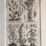 gyomnövények antik nyomat