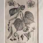 hársfa antik nyomat
