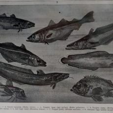 Tengeri halak 2 eredeti nyomat