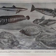 tengeri halak 3 eredeti nyomat