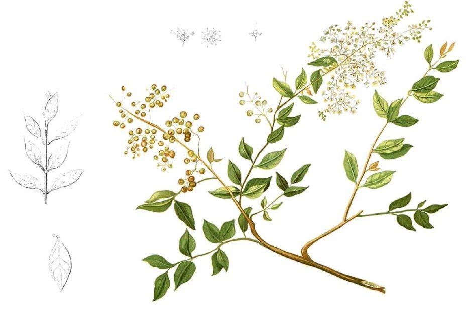 Lawsonia Inermis hennafestés