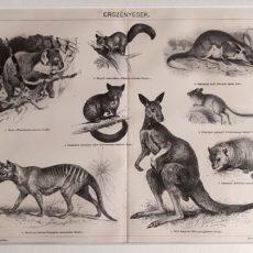 erszényesek Ausztrália eredeti nyomat