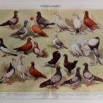 galambok eredeti nyomat