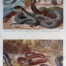 kígyók eredeti antik nyomat
