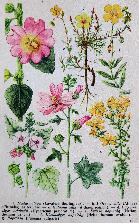 Virág mályva eredeti régi nyomat