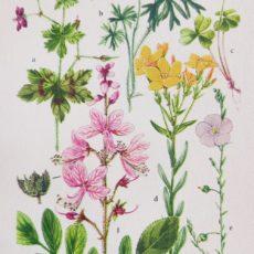 Virág gólyaorr eredeti régi nyomat