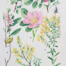 Virág rózsa eredeti régi nyomat