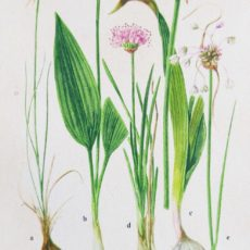 Virág medvehagyma eredeti régi nyomat