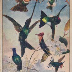 Kolibrik eredeti régi nyomat