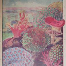Korall eredeti régi nyomat
