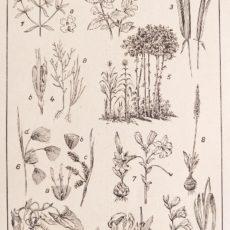 Növényvilág 1. eredeti régi nyomat