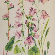 Virág harangvirág eredeti régi nyomat