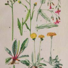Virág zörgőfű eredeti régi nyomat