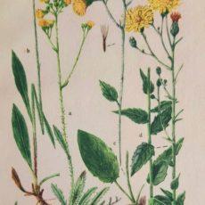 Virág hölgymál eredeti régi nyomat