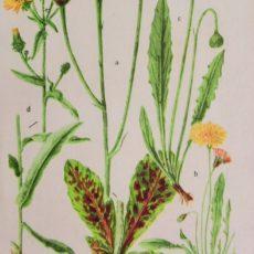 Virág pitypang eredeti régi nyomat
