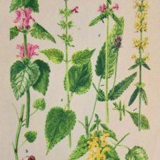 Virág csalán eredeti régi nyomat