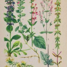 Virág infű eredeti régi nyomat