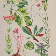 Virág ciklámen eredeti régi nyomat