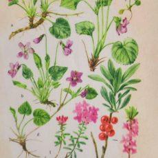Virág ibolya eredeti régi nyomat