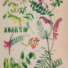 Virág bükköny eredeti régi nyomat