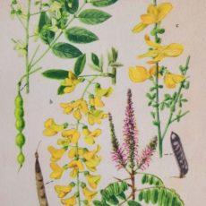 Virág akác eredeti régi nyomat