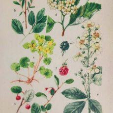 Virág bogyók eredeti régi nyomat