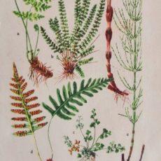 Virág páfrány eredeti régi nyomat