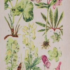 Virág hunyor eredeti régi nyomat