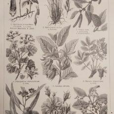 Illatszer növények 1. régi nyomat