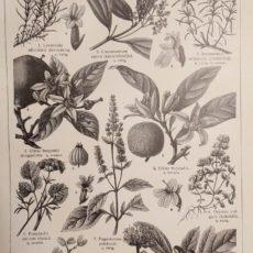 Illatszer növények 2. régi nyomat