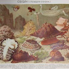Tengeri csigák eredeti régi nyomat