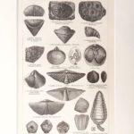 Devon kövületek 1. eredeti antik nyomat