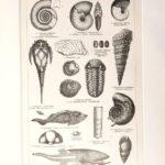 Devon kövületek 2. eredeti antik nyomat