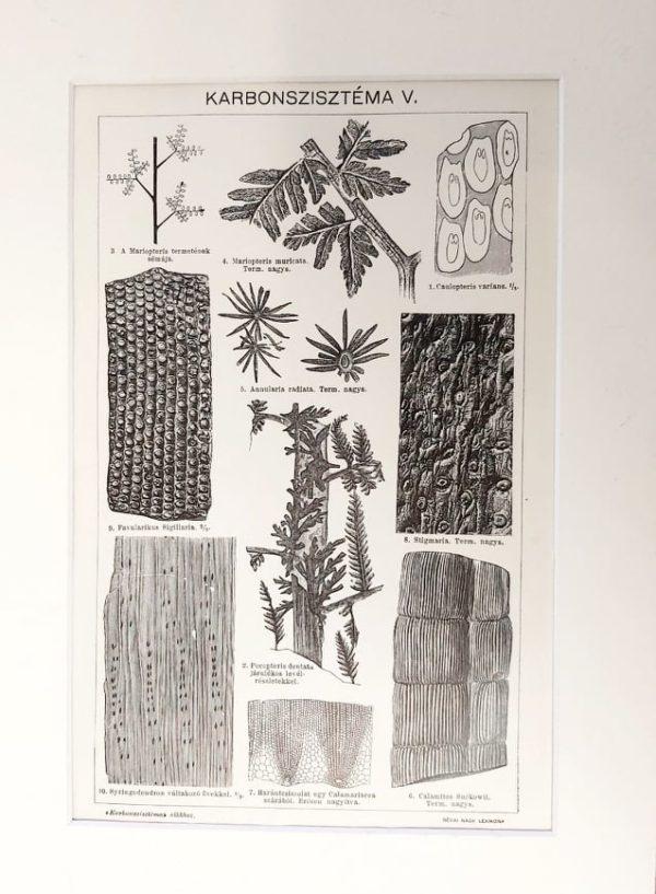 Karbon kövületek 5. eredeti antik nyomat