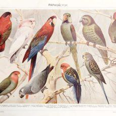 Papagáj eredeti antik nyomat 1925 A3