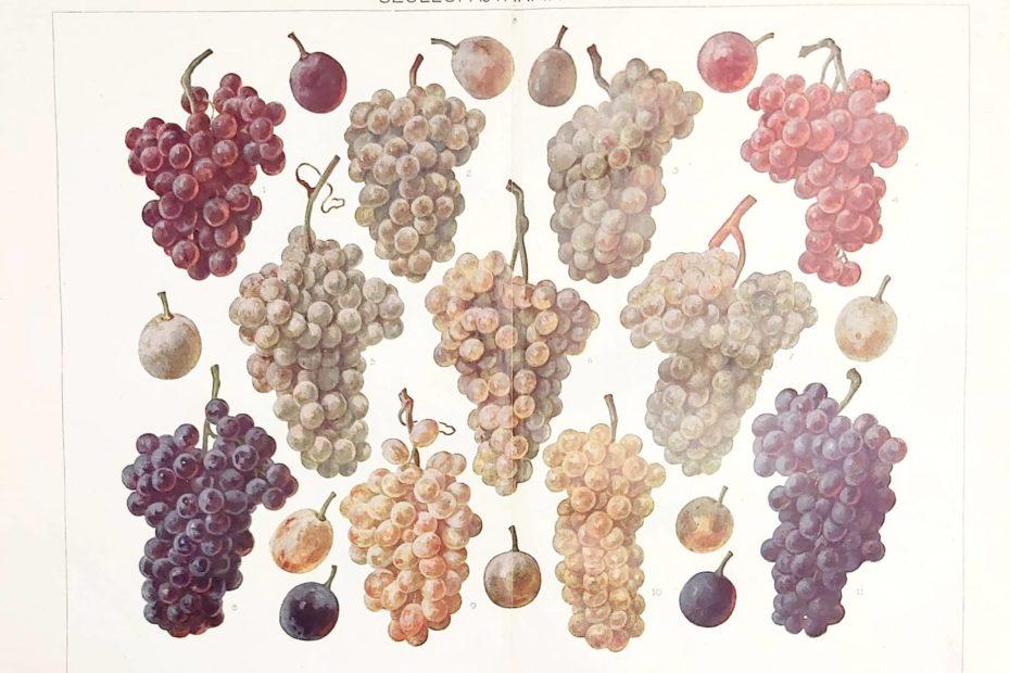 Szőlő bor eredeti antik nyomat 1925 A3